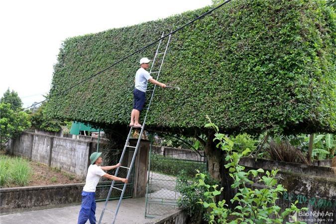 Độc đáo cổng nhà làm từ 2 cây duối cổ thụ ở Nghệ An Ảnh 7