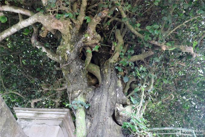 Độc đáo cổng nhà làm từ 2 cây duối cổ thụ ở Nghệ An Ảnh 6