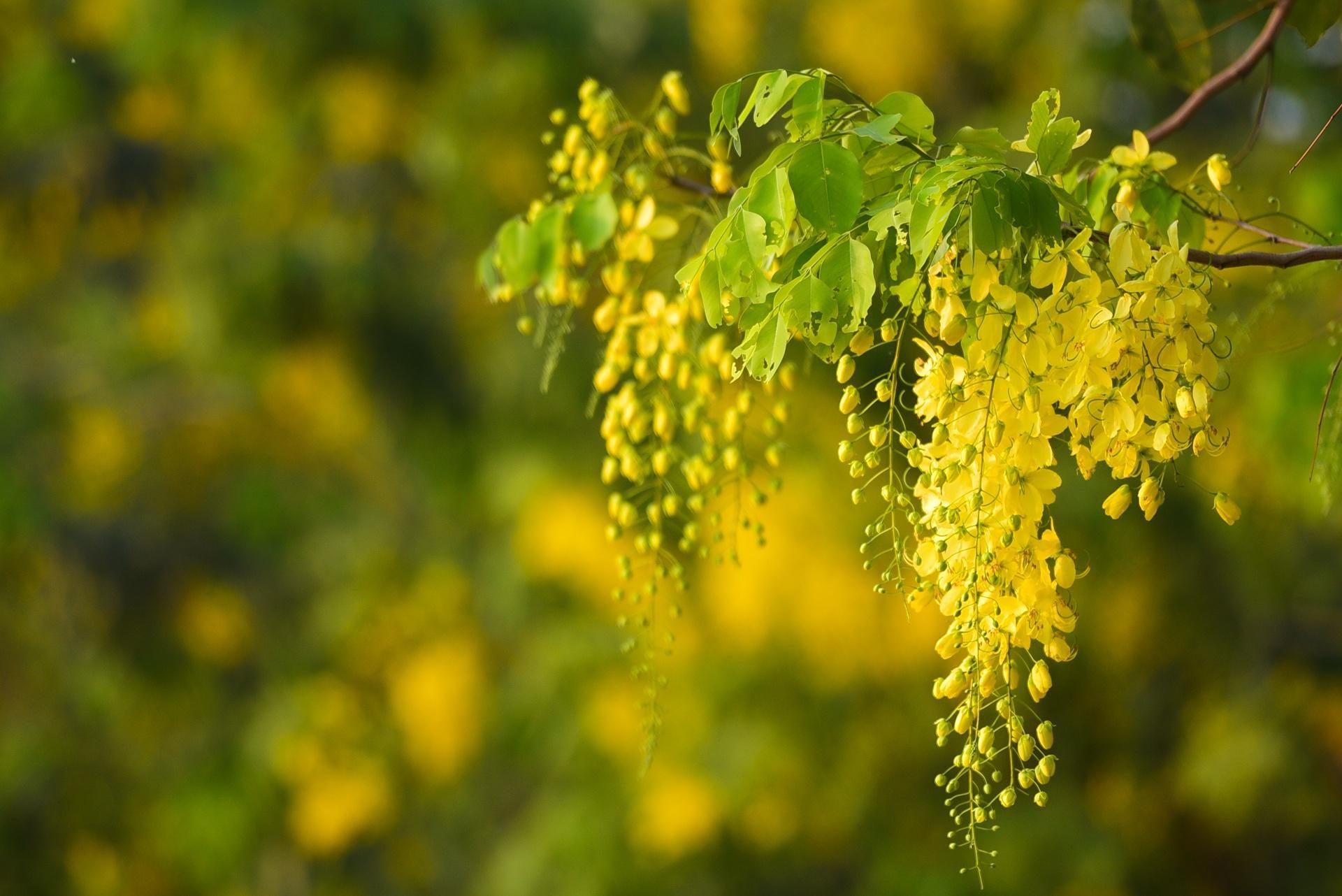 Hà Nội nơi đỏ rực rỡ nhờ hoa phượng, chỗ dát vàng bởi muồng hoàng yến Ảnh 15