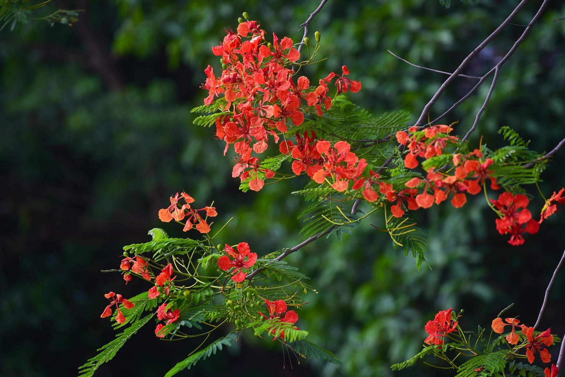 Hà Nội nơi đỏ rực rỡ nhờ hoa phượng, chỗ dát vàng bởi muồng hoàng yến Ảnh 7
