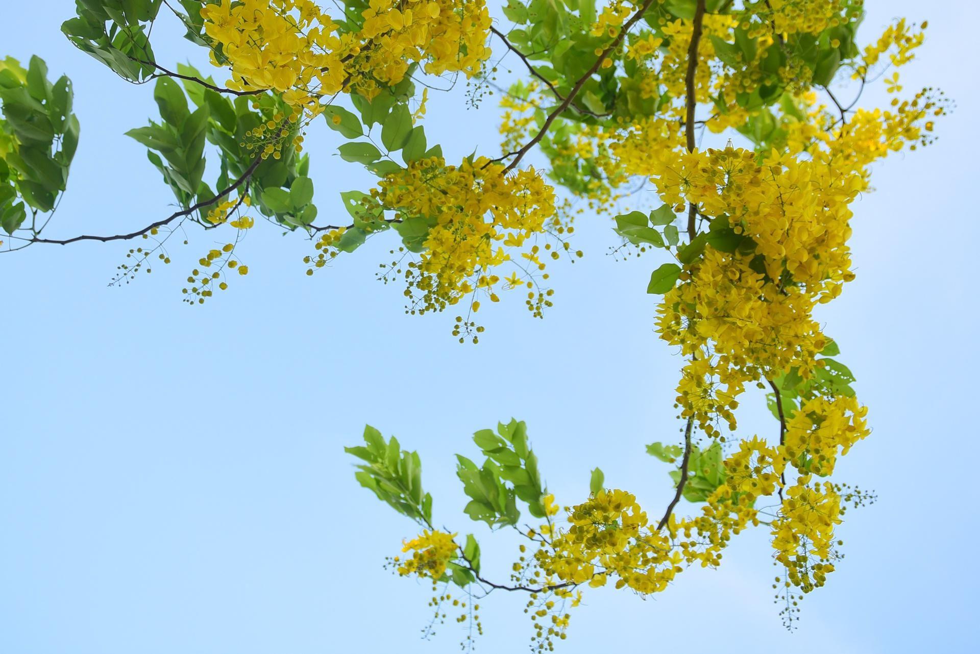 Hà Nội nơi đỏ rực rỡ nhờ hoa phượng, chỗ dát vàng bởi muồng hoàng yến Ảnh 13