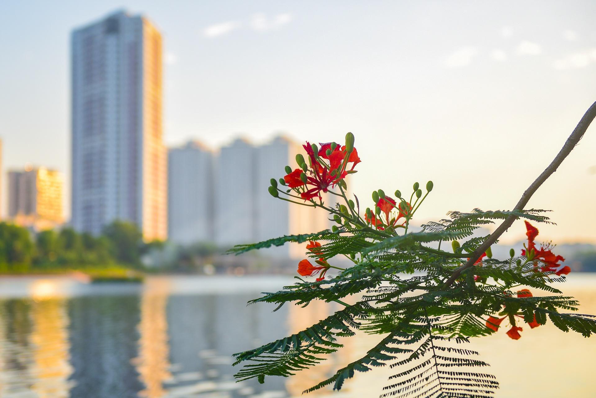 Hà Nội nơi đỏ rực rỡ nhờ hoa phượng, chỗ dát vàng bởi muồng hoàng yến Ảnh 9
