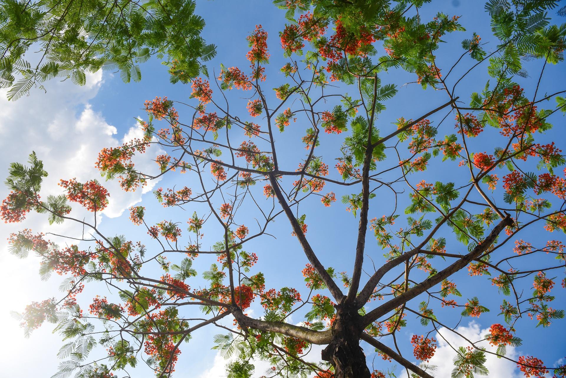 Hà Nội nơi đỏ rực rỡ nhờ hoa phượng, chỗ dát vàng bởi muồng hoàng yến Ảnh 1