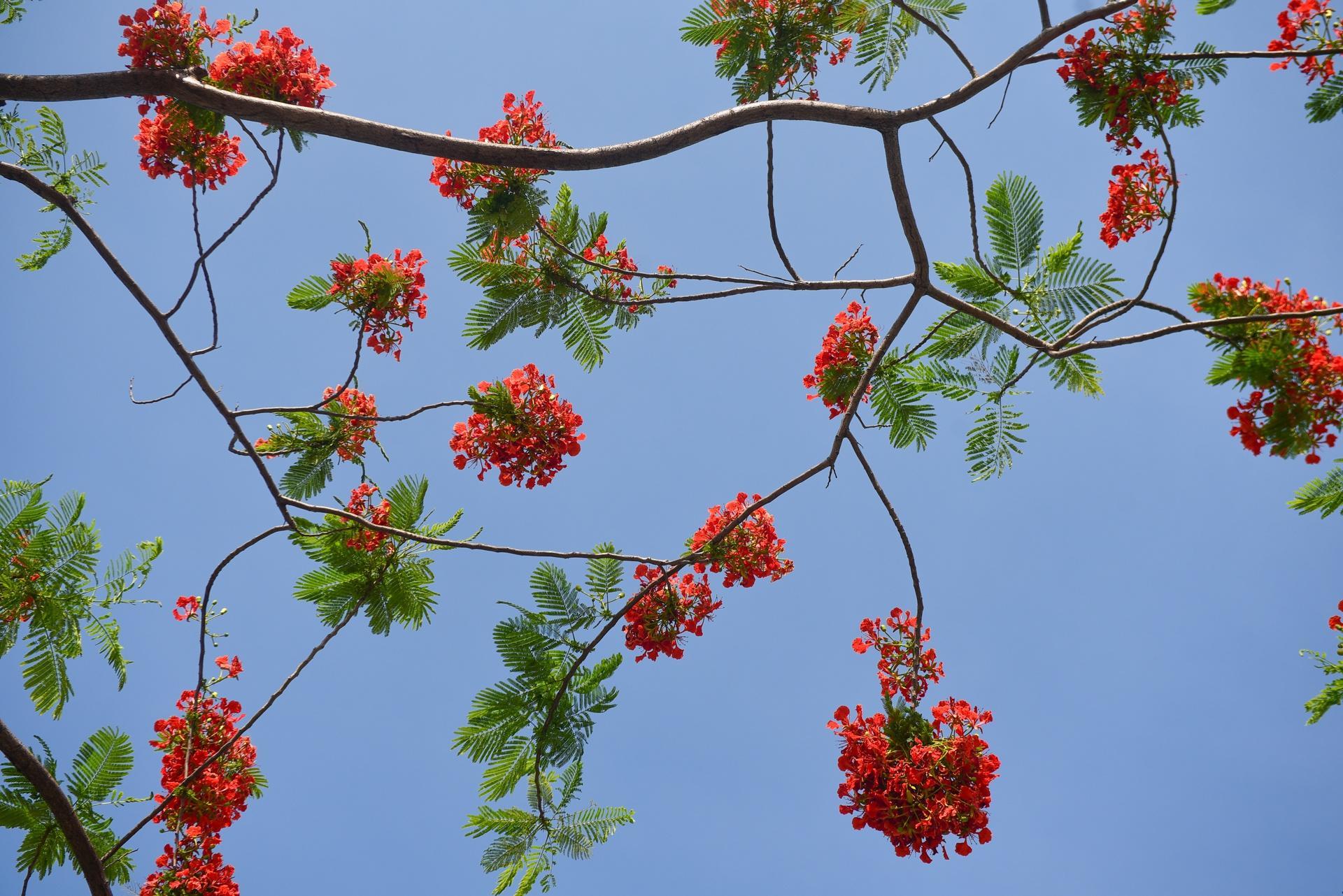 Hà Nội nơi đỏ rực rỡ nhờ hoa phượng, chỗ dát vàng bởi muồng hoàng yến Ảnh 4