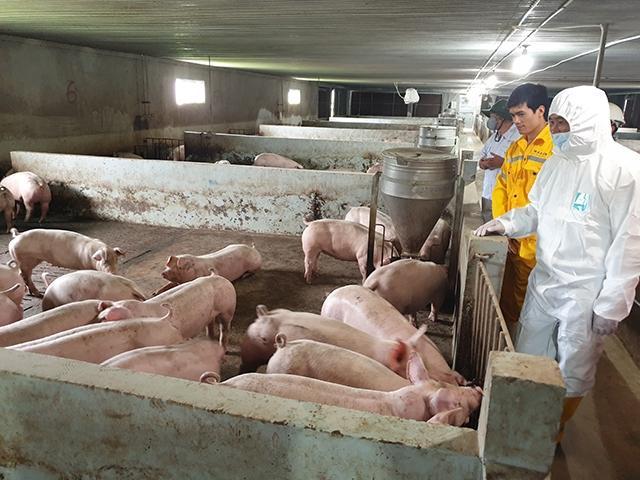Tái đàn lợn an toàn, bền vững Ảnh 1