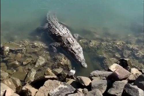 Cá sấu khổng lồ đoạt mạng chim bồ câu trong 'một nốt nhạc' Ảnh 1