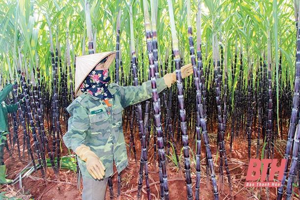 Huyện Thạch Thành phát triển kinh tế nông, lâm nghiệp Ảnh 1