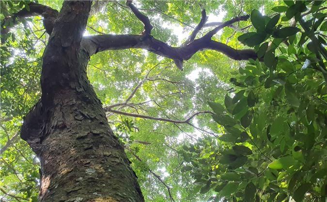 Hương ước kỳ lạ giúp rừng lim cổ thụ 'đứng vững' hàng trăm năm giữa vựa lúa xứ Nghệ Ảnh 1