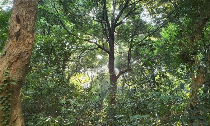 Hương ước kỳ lạ giúp rừng lim cổ thụ 'đứng vững' hàng trăm năm giữa vựa lúa xứ Nghệ Ảnh 4