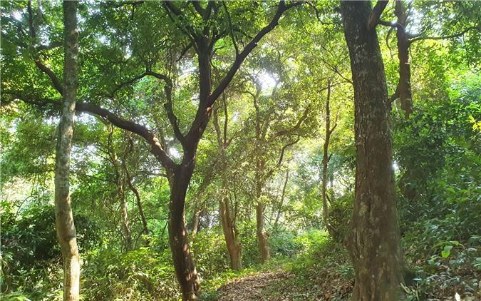 Hương ước kỳ lạ giúp rừng lim cổ thụ 'đứng vững' hàng trăm năm giữa vựa lúa xứ Nghệ Ảnh 5