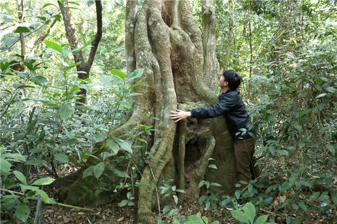 Hương ước kỳ lạ giúp rừng lim cổ thụ 'đứng vững' hàng trăm năm giữa vựa lúa xứ Nghệ Ảnh 2