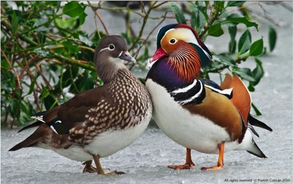 Loài vịt đẹp từ ngoại hình đến tên, lúc nào cũng có đôi có cặp lại còn luôn một lòng một dạ với nhau khiến con người phải ghen tị Ảnh 8