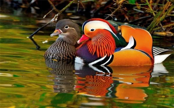 Loài vịt đẹp từ ngoại hình đến tên, lúc nào cũng có đôi có cặp lại còn luôn một lòng một dạ với nhau khiến con người phải ghen tị Ảnh 7