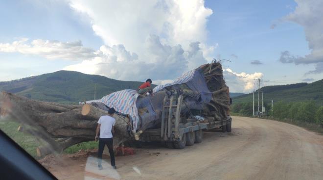 Dậy sóng hình ảnh xe tải chở cây cổ thụ khổng lồ ở Nghệ An Ảnh 1