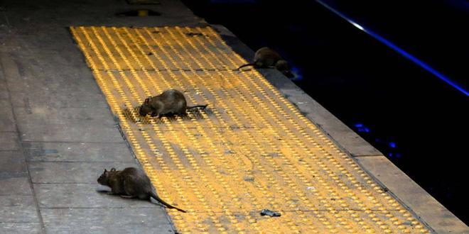 Sự trỗi dậy của loài chuột cống: Thực khách ăn uống ở vỉa hè New York liên tục bị chuột quấy rối và trấn lột thức ăn Ảnh 1