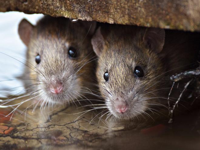 Sự trỗi dậy của loài chuột cống: Thực khách ăn uống ở vỉa hè New York liên tục bị chuột quấy rối và trấn lột thức ăn Ảnh 2