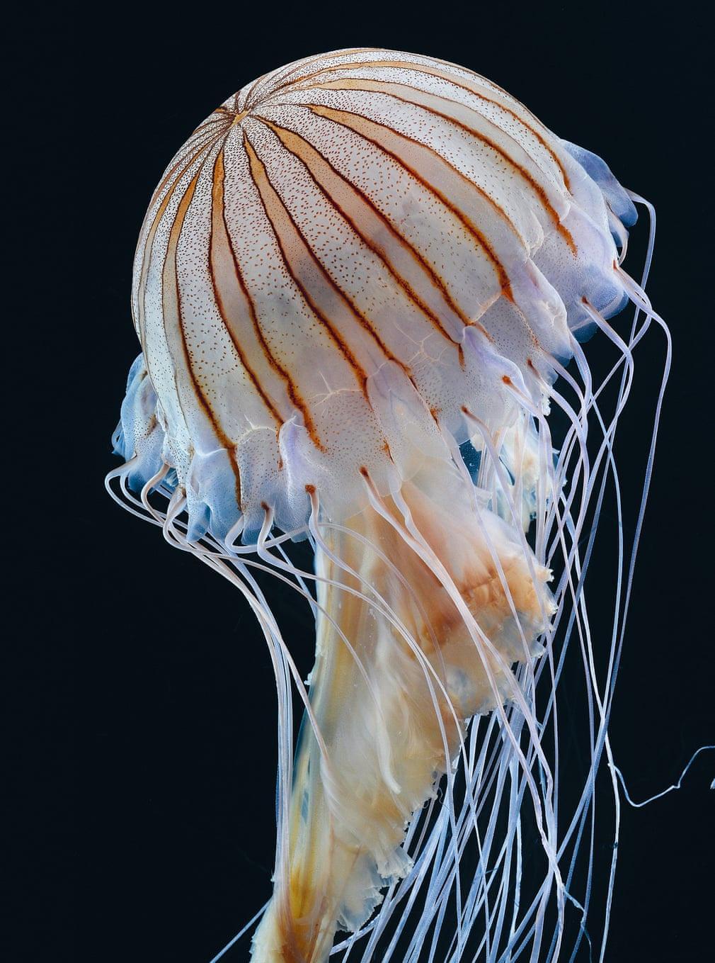 Thế giới loài sứa độc chết người nhưng đẹp siêu thực Ảnh 6