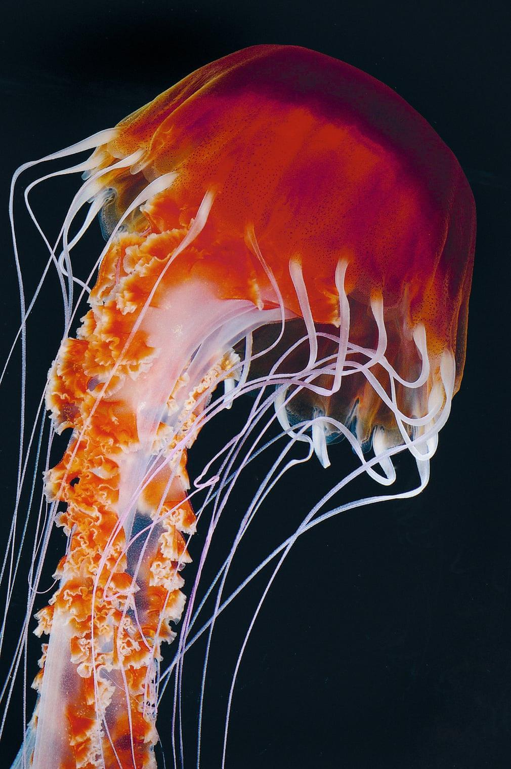 Thế giới loài sứa độc chết người nhưng đẹp siêu thực Ảnh 3
