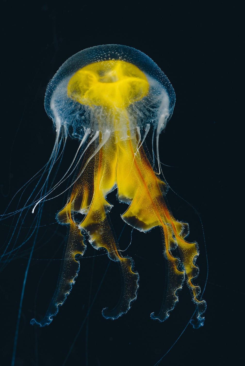 Thế giới loài sứa độc chết người nhưng đẹp siêu thực Ảnh 2