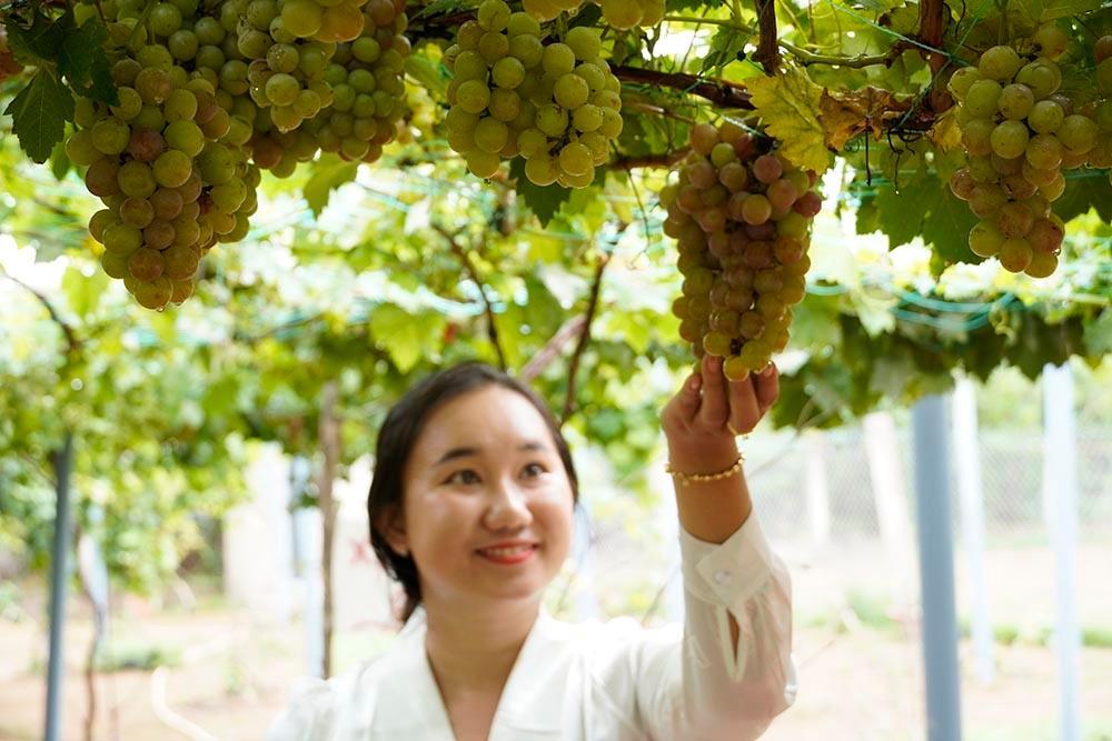 Vườn nho siêu trái ở miền Tây mở cửa miễn phí, giới trẻ thích thú đến check-in Ảnh 5