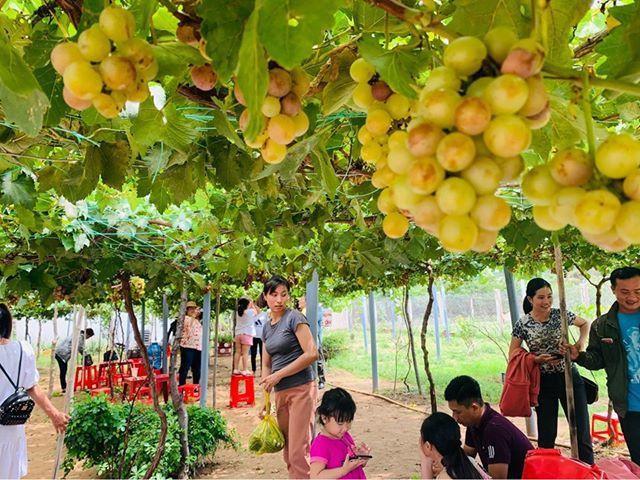 Vườn nho siêu trái ở miền Tây mở cửa miễn phí, giới trẻ thích thú đến check-in Ảnh 2