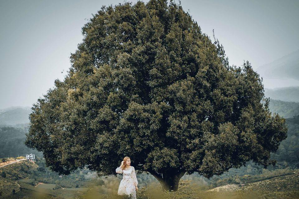 Dân tình đổ xô check-in cây thông 'mập ú' nhất Đà Lạt, chơi vơi giữa mây trời thơ mộng biết bao, nghe đồn 'khi đi lẻ bóng khi về có đôi'! Ảnh 4