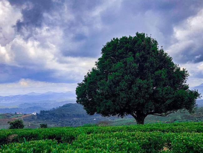 Dân tình đổ xô check-in cây thông 'mập ú' nhất Đà Lạt, chơi vơi giữa mây trời thơ mộng biết bao, nghe đồn 'khi đi lẻ bóng khi về có đôi'! Ảnh 11