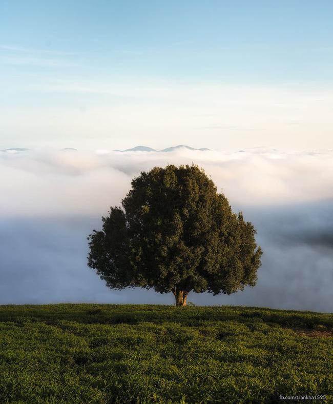 Dân tình đổ xô check-in cây thông 'mập ú' nhất Đà Lạt, chơi vơi giữa mây trời thơ mộng biết bao, nghe đồn 'khi đi lẻ bóng khi về có đôi'! Ảnh 2