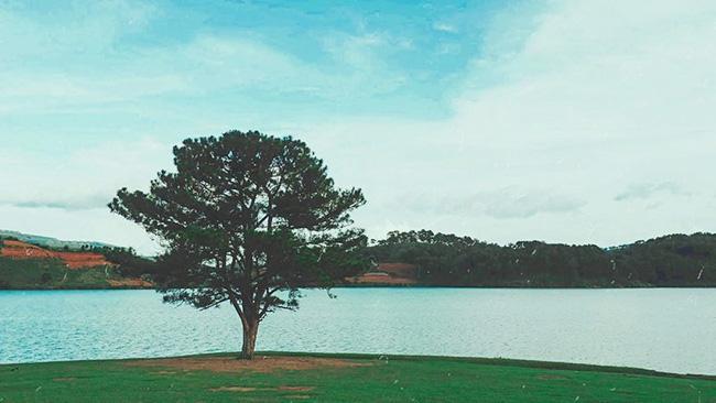 Dân tình đổ xô check-in cây thông 'mập ú' nhất Đà Lạt, chơi vơi giữa mây trời thơ mộng biết bao, nghe đồn 'khi đi lẻ bóng khi về có đôi'! Ảnh 1
