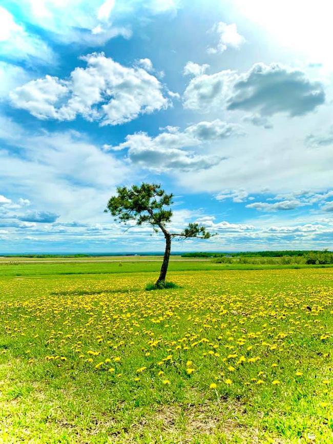 Dân tình đổ xô check-in cây thông 'mập ú' nhất Đà Lạt, chơi vơi giữa mây trời thơ mộng biết bao, nghe đồn 'khi đi lẻ bóng khi về có đôi'! Ảnh 12