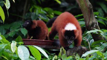 Ca song sinh vượn cáo cổ khoang đỏ quý hiếm tại Singapore Ảnh 1