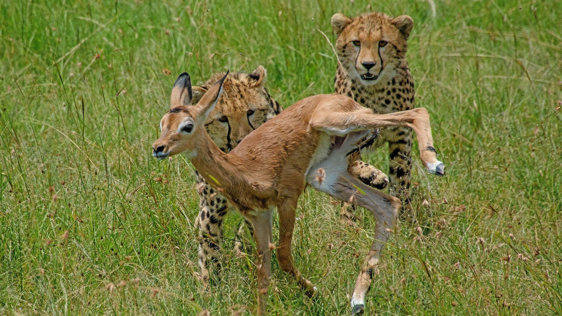 Báo mẹ tách linh dương non khỏi đàn để con tập vờn Ảnh 3