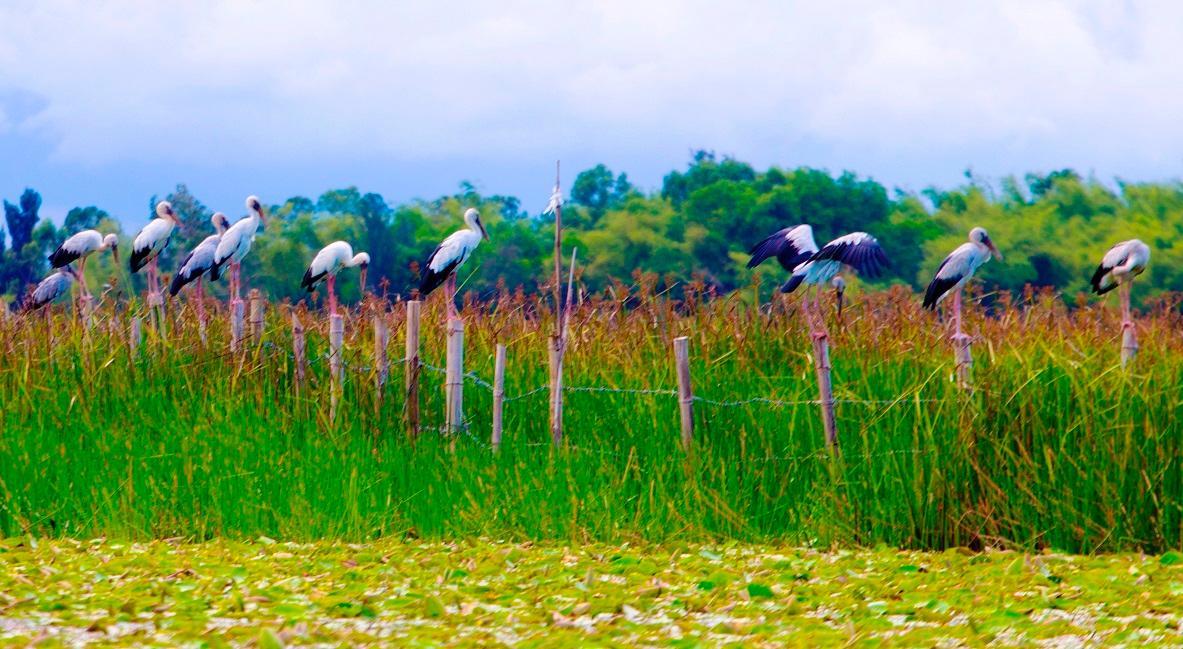 Chim cò di cư đậu kín sông Đầm Ảnh 9