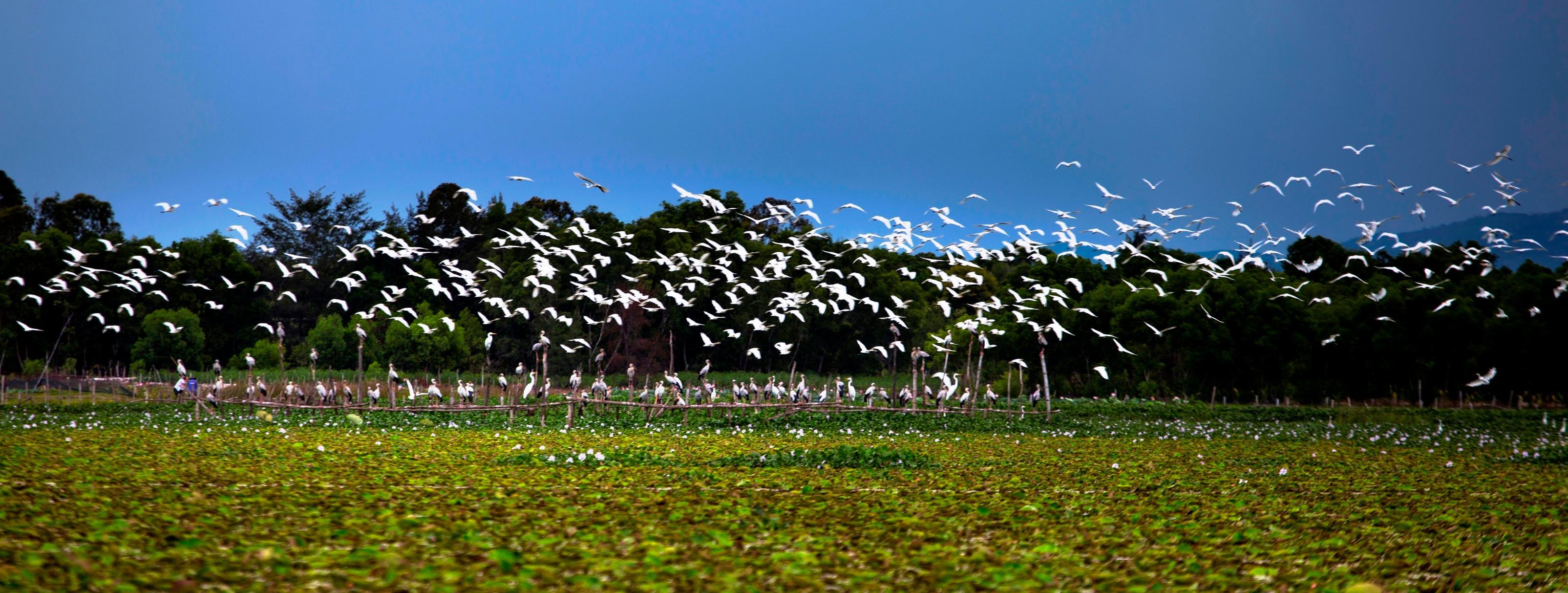 Chim cò di cư đậu kín sông Đầm Ảnh 6