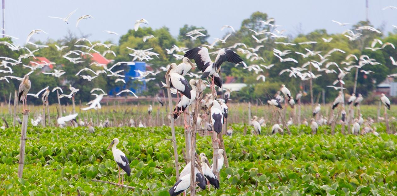 Chim cò di cư đậu kín sông Đầm Ảnh 1