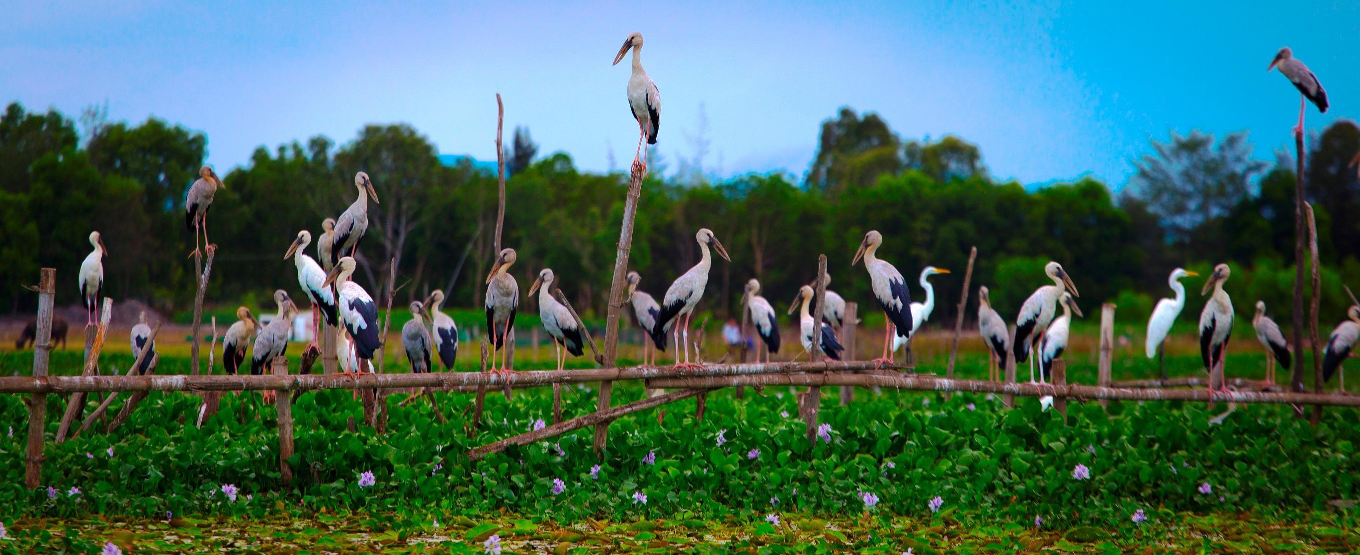 Chim cò di cư đậu kín sông Đầm Ảnh 5