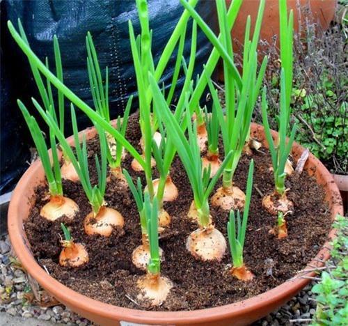 Điểm danh 6 loại rau trồng trong nhà cũng sống, chỉ vài ngày là có ngay rau sạch ăn quanh năm Ảnh 2