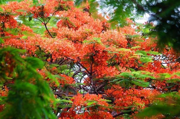 Phượng vĩ mỗi mùa Hè lại đỏ hoa rực rỡ, nhưng tuổi trẻ tôi chẳng hai lần thắm lại Ảnh 1