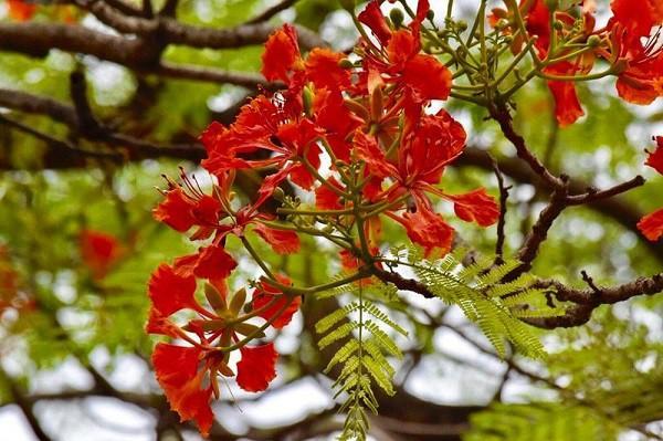 Phượng vĩ mỗi mùa Hè lại đỏ hoa rực rỡ, nhưng tuổi trẻ tôi chẳng hai lần thắm lại Ảnh 3