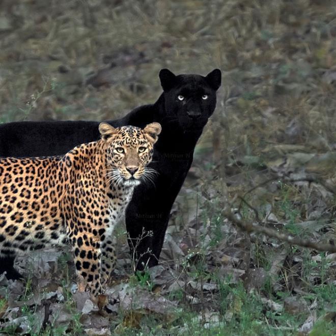 Chuyện tình 4 năm của cặp báo đốm-đen gây sốt Ảnh 1