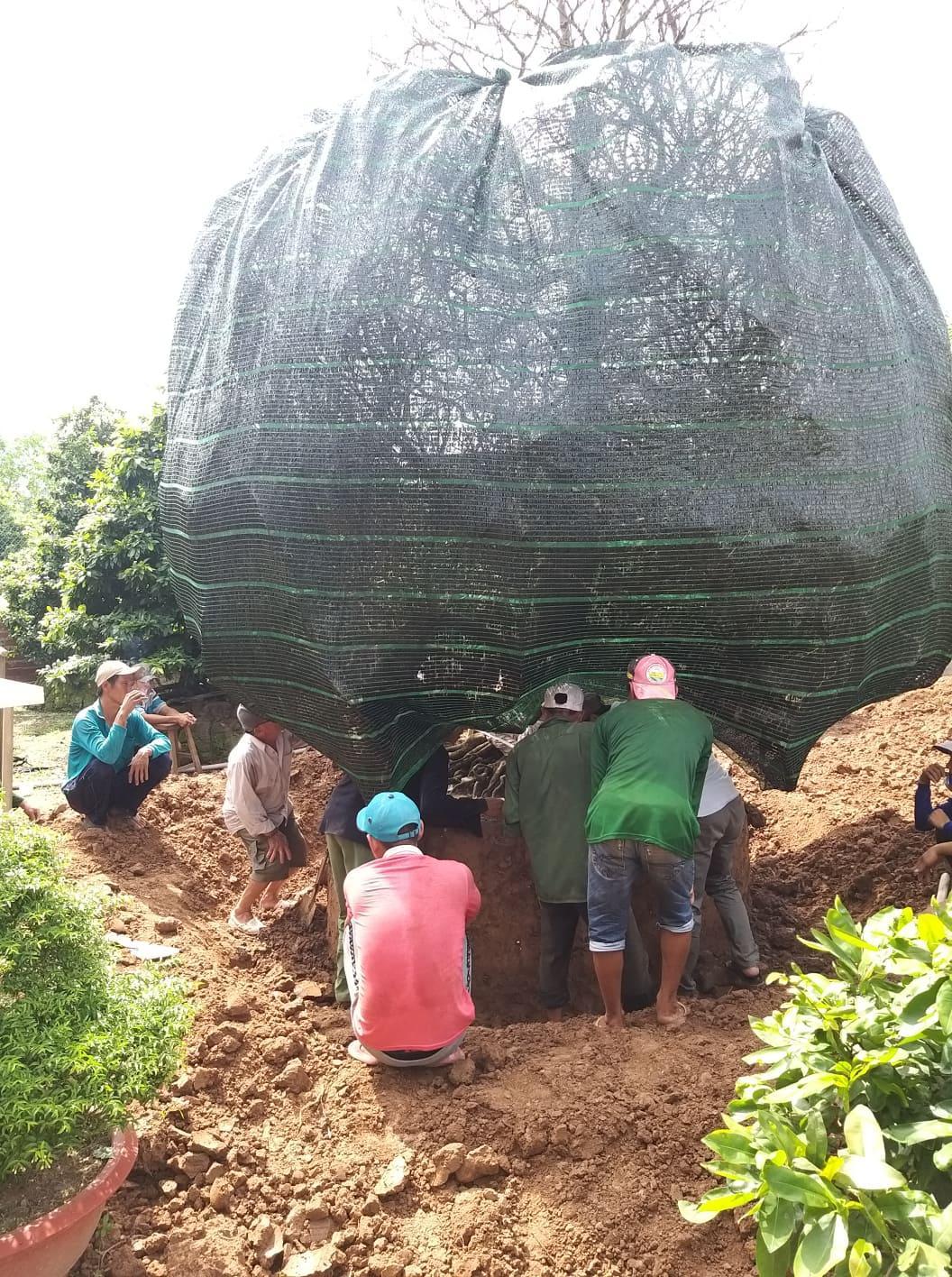 Chủ nhân cây mai vàng 'khủng' ở làng mai Phước Định giá 3,8 tỷ đồng là ai? Ảnh 2