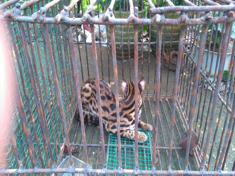 Bàn giao cá thể tê tê, khỉ, mèo rừng quý hiếm về khu bảo tồn Ảnh 4