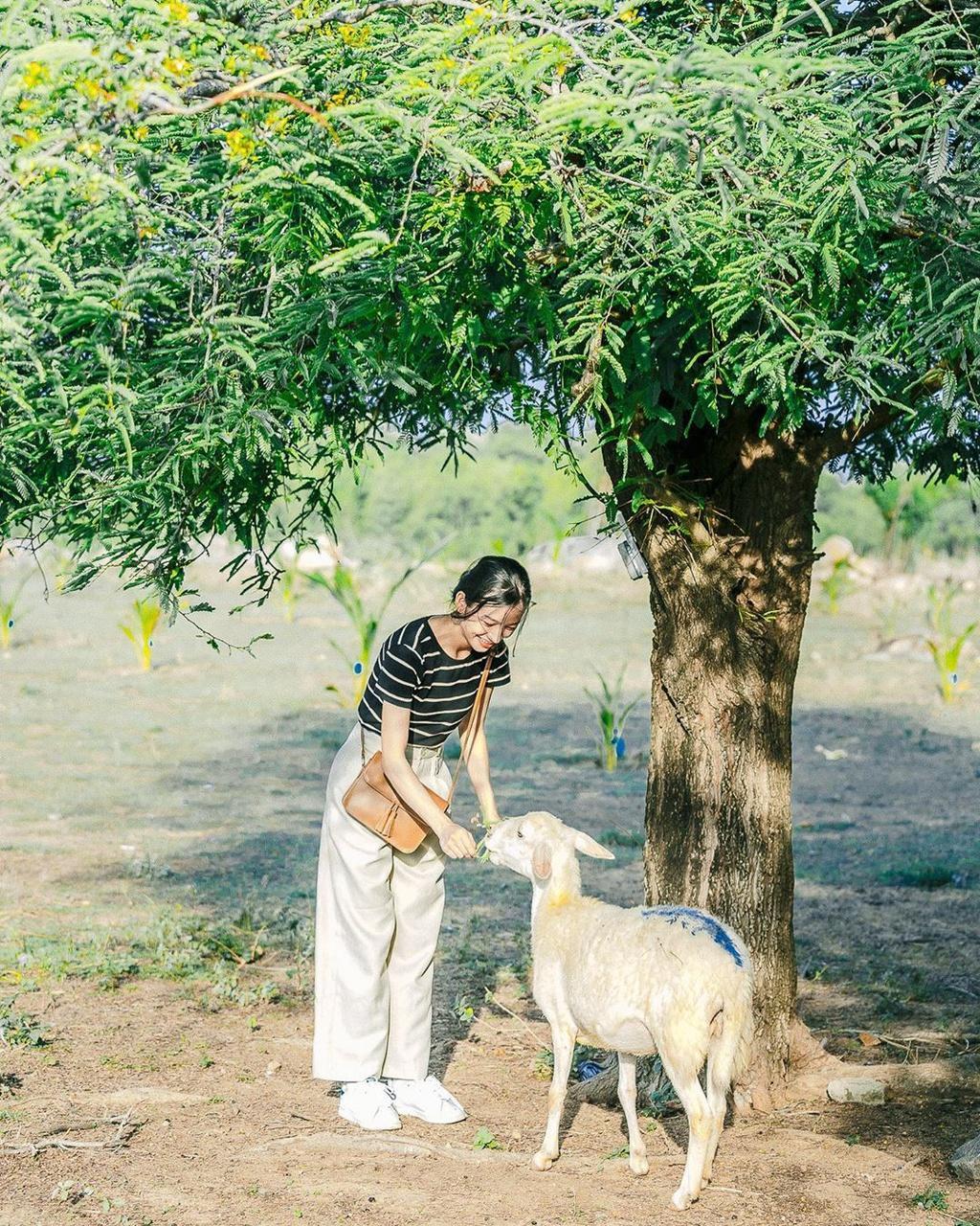 Lạc vào miền quê châu Âu tại 4 đồng cừu Việt Nam Ảnh 2