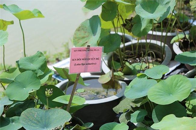 Đến thăm nơi bảo tồn các loài sen quý hiếm nhất của Việt Nam Ảnh 6