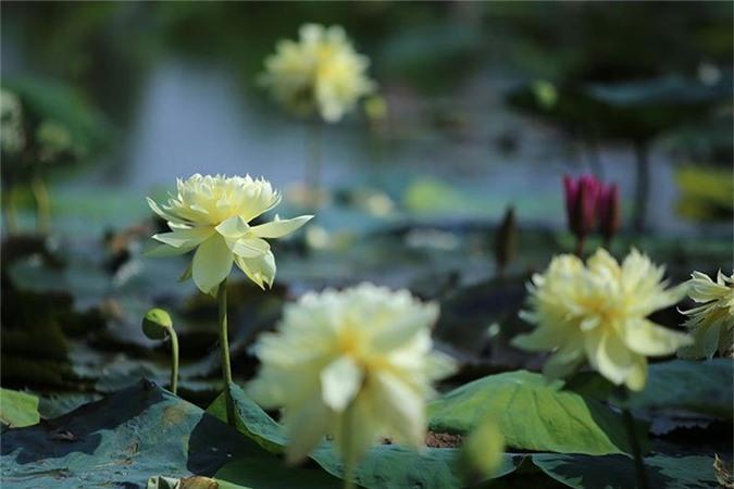 Đến thăm nơi bảo tồn các loài sen quý hiếm nhất của Việt Nam Ảnh 2
