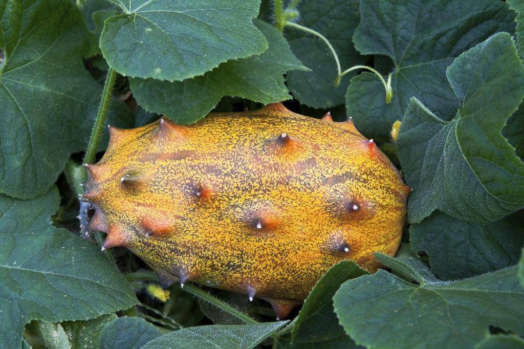 Dưa chuột mọc sừng - loại quả như tới từ hành tinh khác Ảnh 3