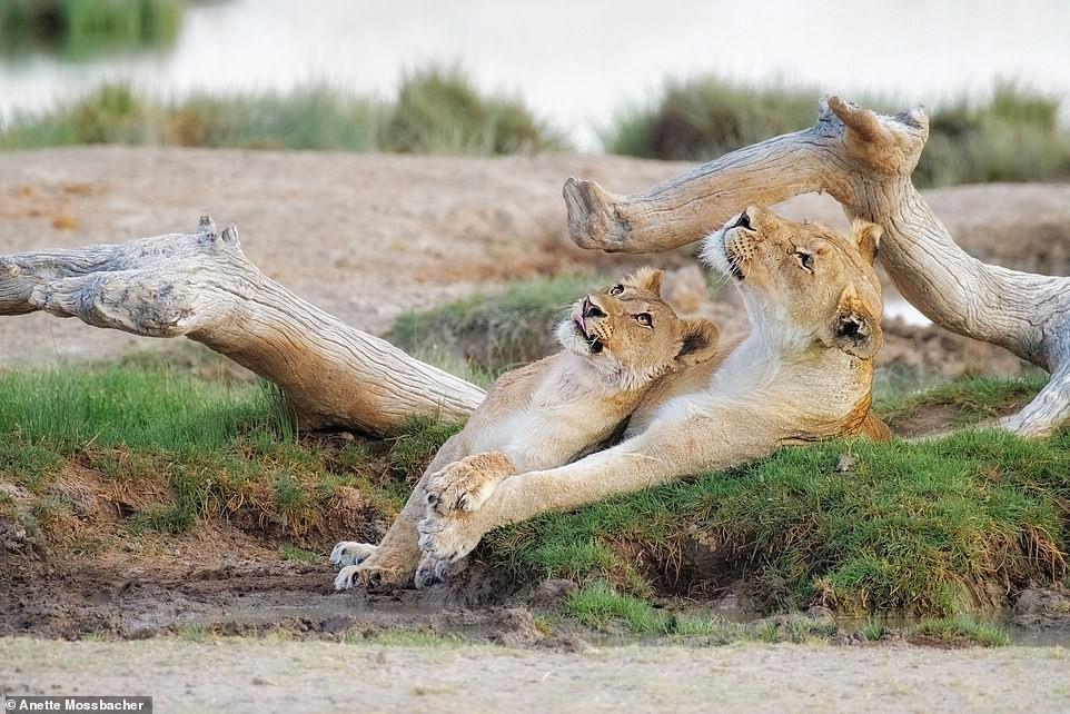 Ảnh hiếm về sư tử châu Phi trước bờ vực tuyệt chủng Ảnh 7