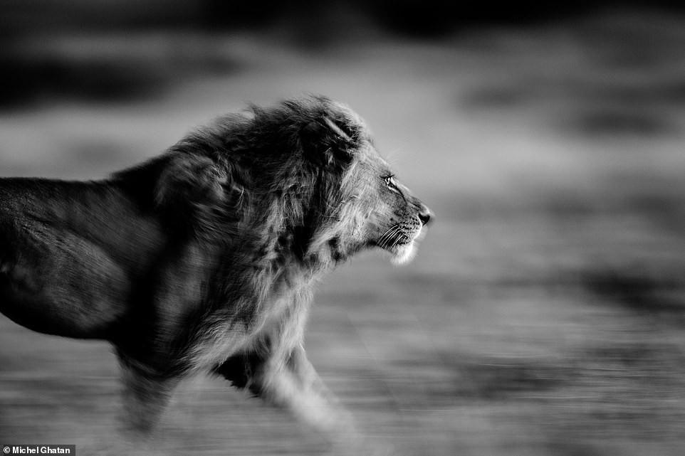 Ảnh hiếm về sư tử châu Phi trước bờ vực tuyệt chủng Ảnh 13