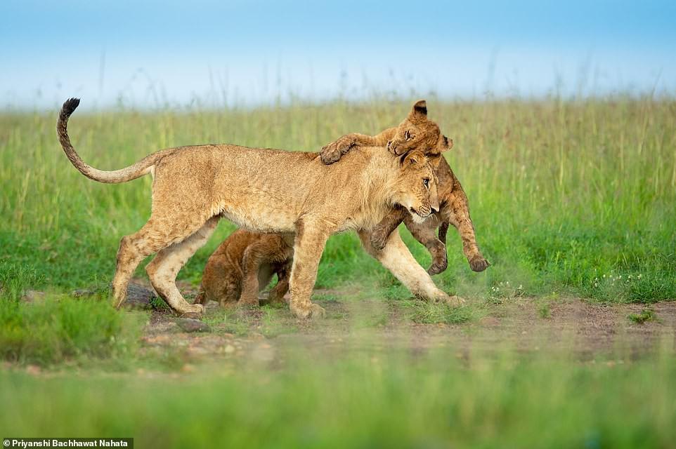 Ảnh hiếm về sư tử châu Phi trước bờ vực tuyệt chủng Ảnh 4