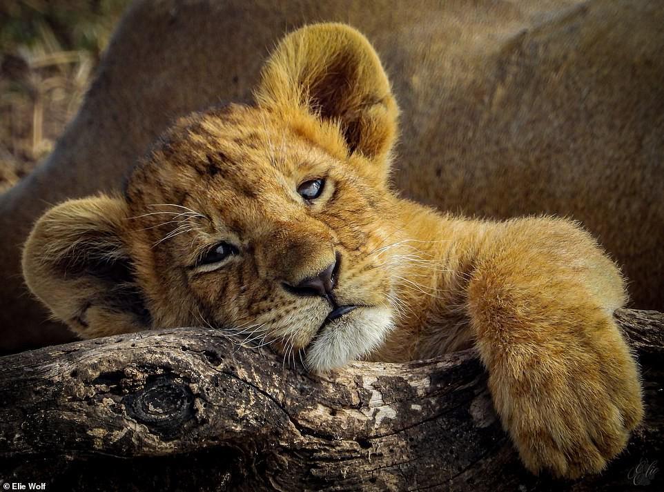 Ảnh hiếm về sư tử châu Phi trước bờ vực tuyệt chủng Ảnh 5